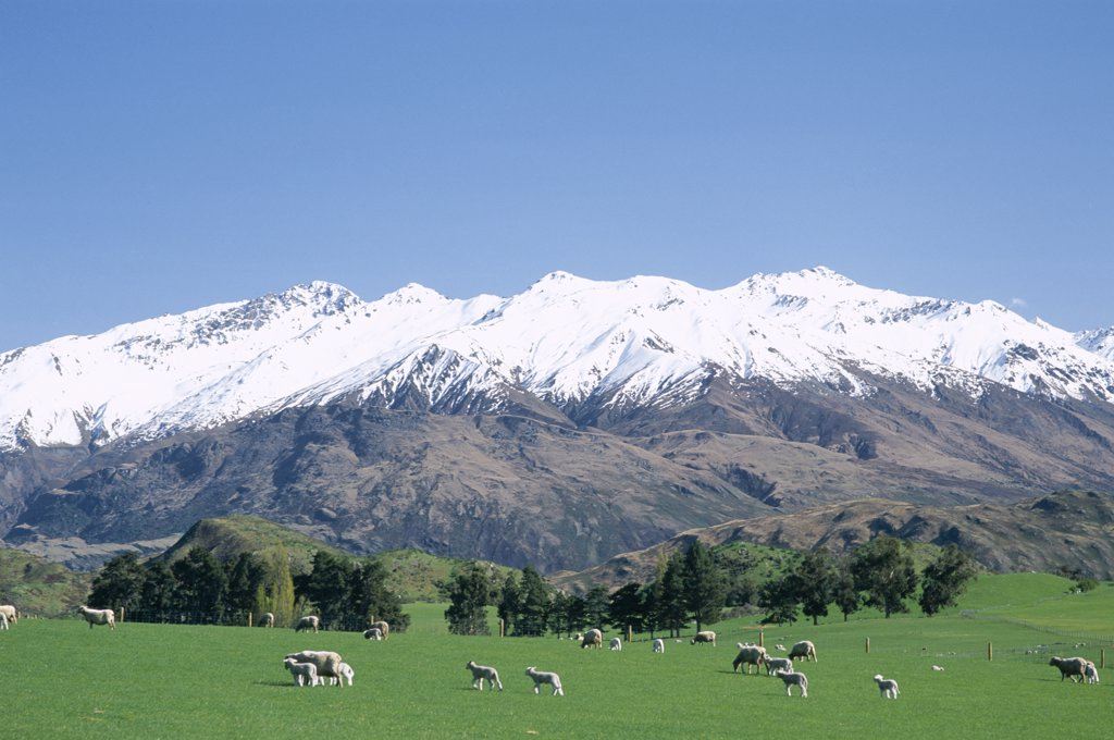 Stock Photo: 442-7464 Sheep grazing in a pasture, Southern Alps, Wanaka, New Zealand