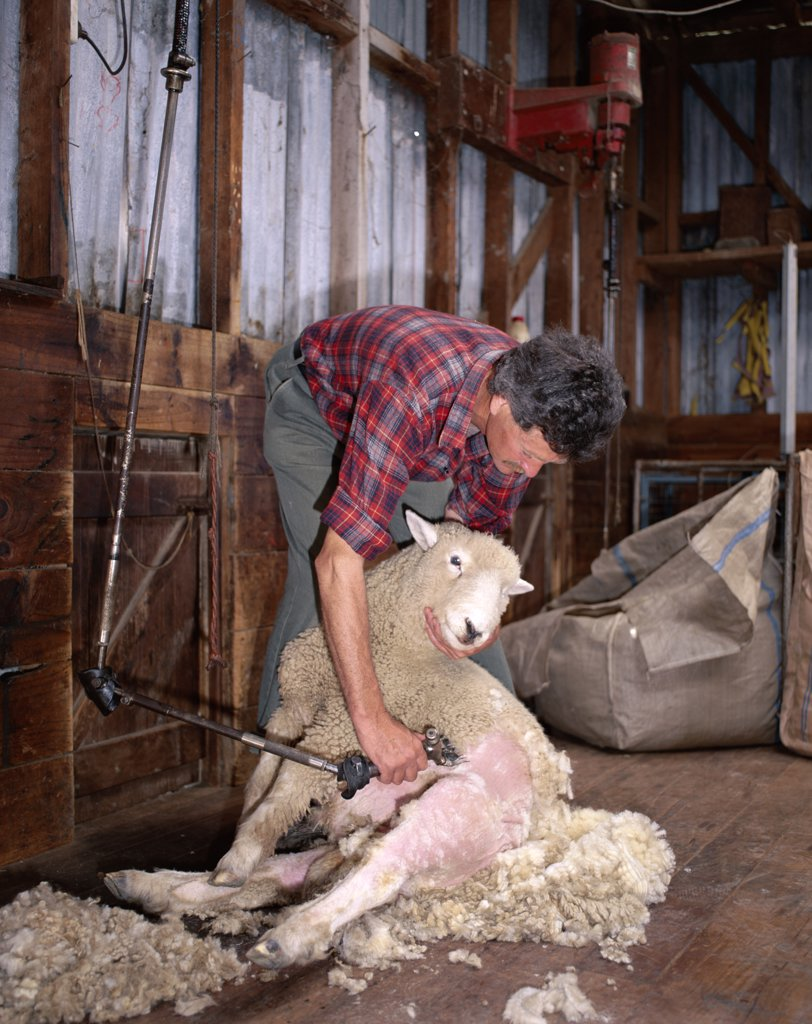 Stock Photo: 442-7484 Farmer shearing a sheep, North Island, New Zealand