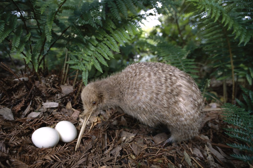 Little Spotted Kiwi in a nest, North Island, New Zealand (Apteryx owenii) : Stock Photo