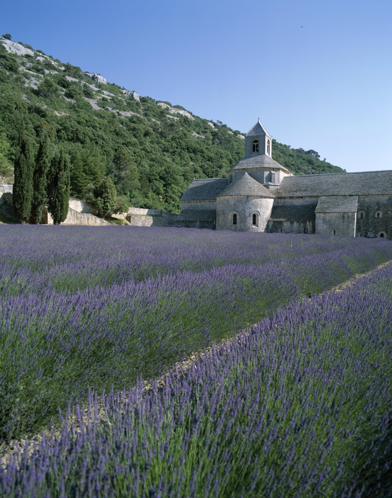 Senanque Abbey and Lavender Fields, Gordes, Provence, France : Stock Photo