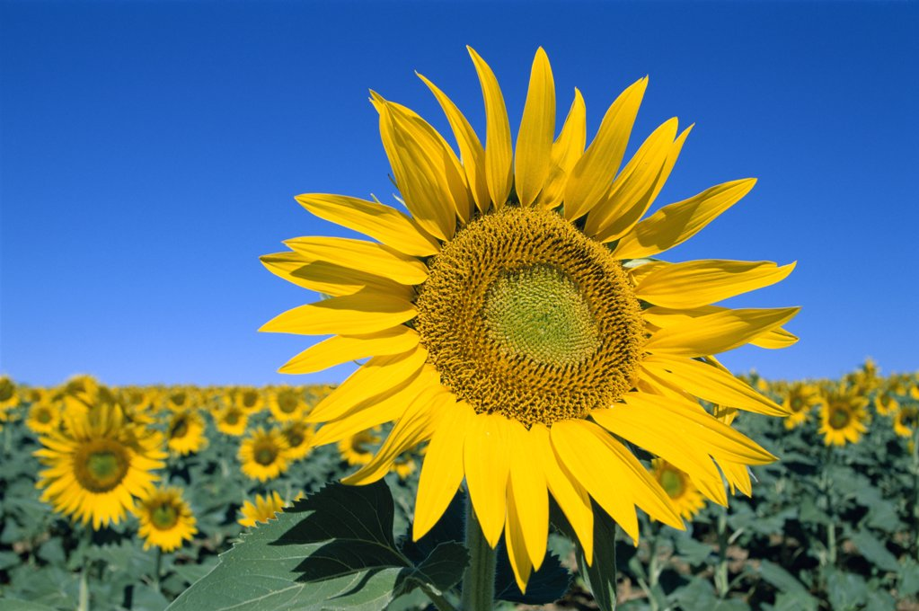 Stock Photo: 442-8322 Close-up of a sunflower in a field, Provence, France