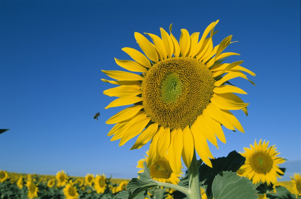 Stock Photo: 442-8328 Close-up of sunflower, Provence, France