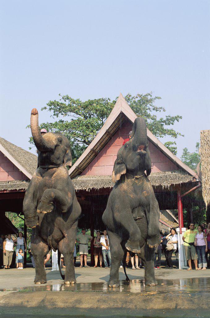 Two elephants performing in a garden, Rose Garden, Bangkok, Thailand : Stock Photo