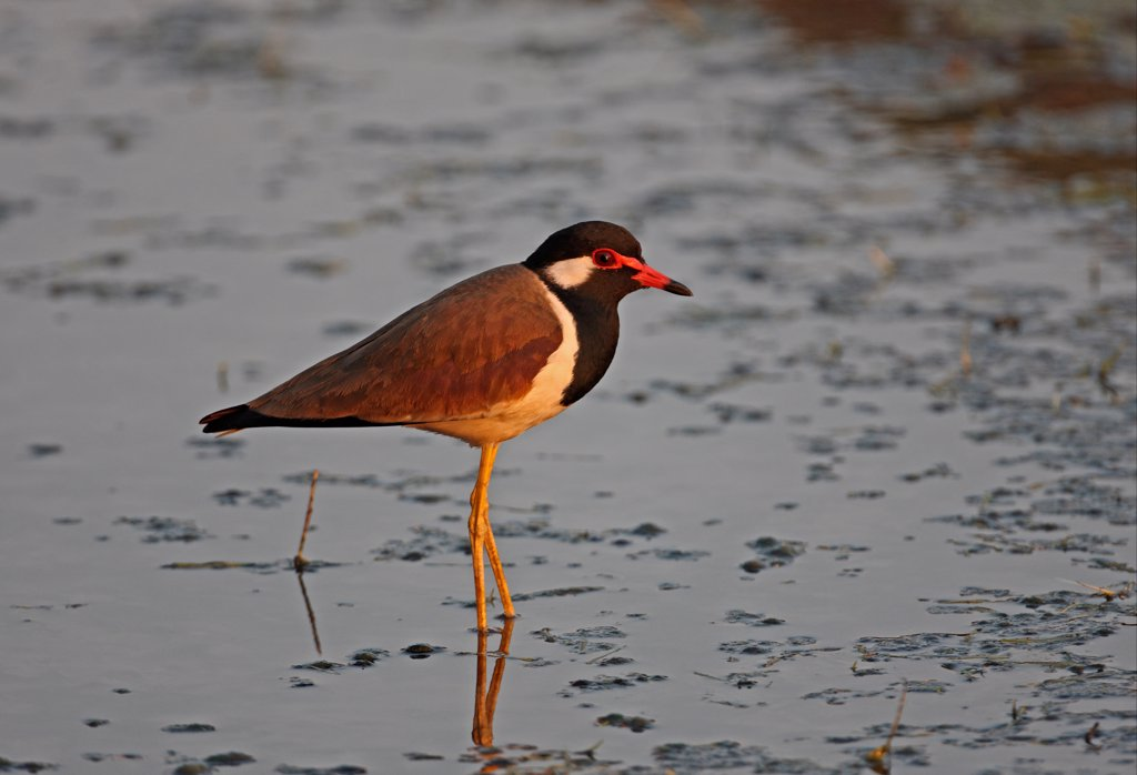 Stock Photo: 4421-10046 Red-wattled Lapwing (Vanellus indicus atronuchalis) adult, standing in shallow water, Thailand, february