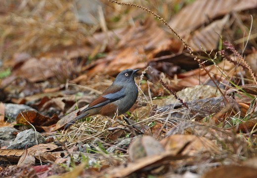 Maroon-backed Accentor (Prunella immaculata) adult, standing on ground, Eaglenest Wildlife Sanctuary, Arunachal Pradesh, India, january : Stock Photo
