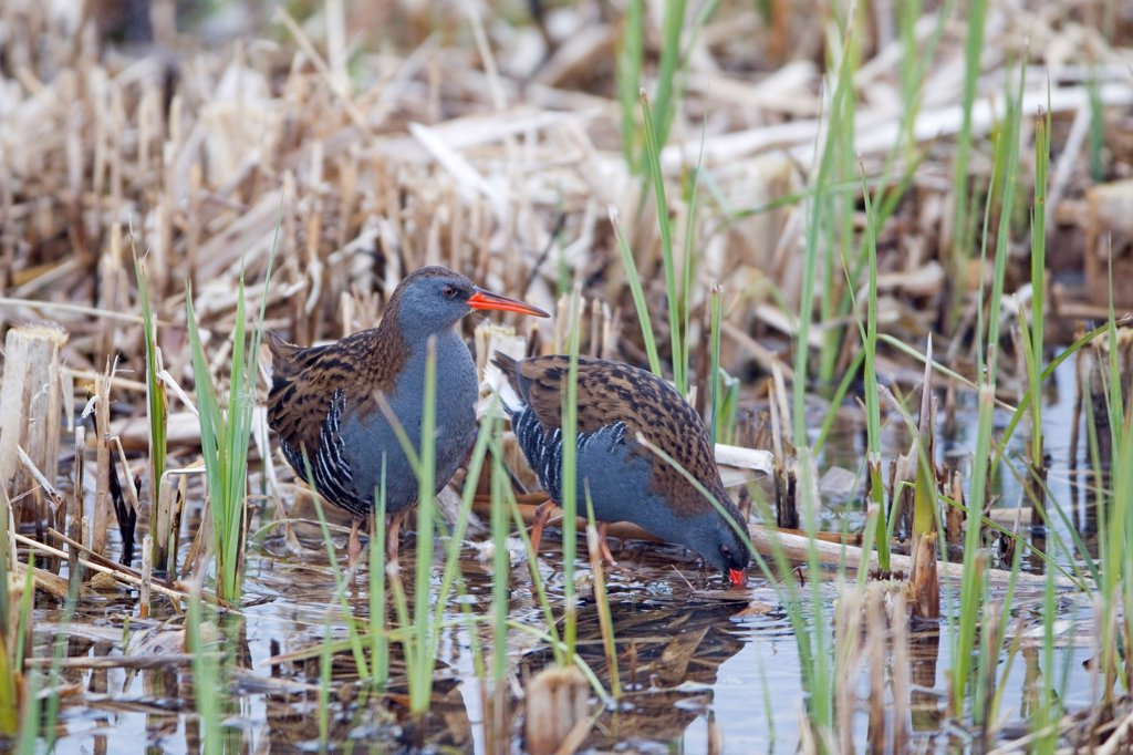Water Rail (Rallus aquaticus) adult pair, feeding at edge of reedbed, Minsmere RSPB Reserve, Suffolk, England, march : Stock Photo