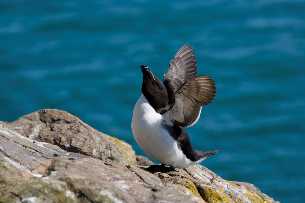Stock Photo: 4421-10491 Razorbill (Alca torda) adult, stretching wings, standing on rocks, Skomer Island, Pembrokeshire, Wales