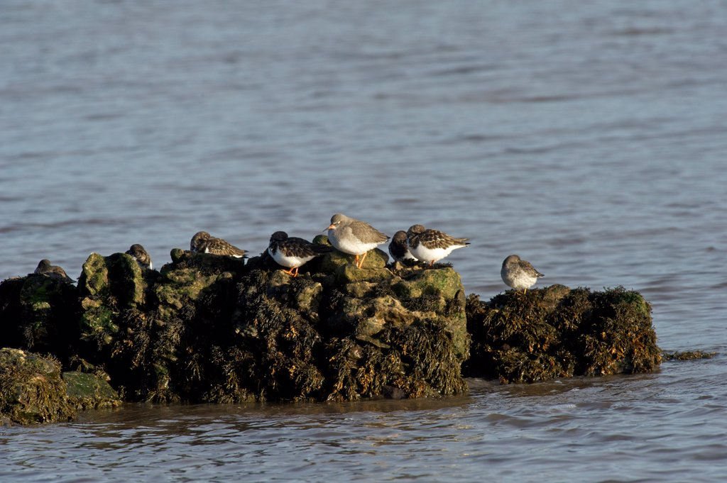 Stock Photo: 4421-10530 Common Redshank (Tringa totanus), Ruddy Turnstone (Arenaria interpres) and Purple Sandpiper (Calidris maritima) mixed flock, roosting on rocks, Southerness, Dumfries and Galloway, Scotland, november