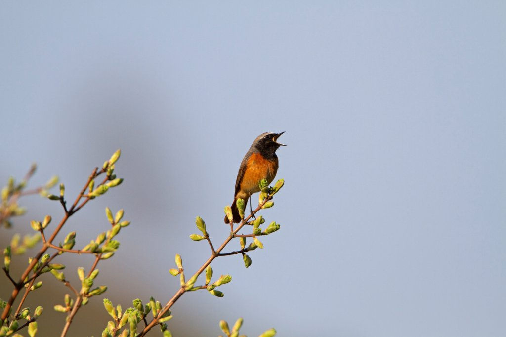 Stock Photo: 4421-10612 Common Redstart (Phoenicurus phoenicurus) adult male, singing, perched in bush with leafbuds, Shropshire, England, april