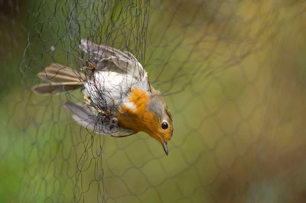 Stock Photo: 4421-10687 European Robin (Erithacus rubecula) adult, caught in mist-net, Holme, Norfolk, England, november