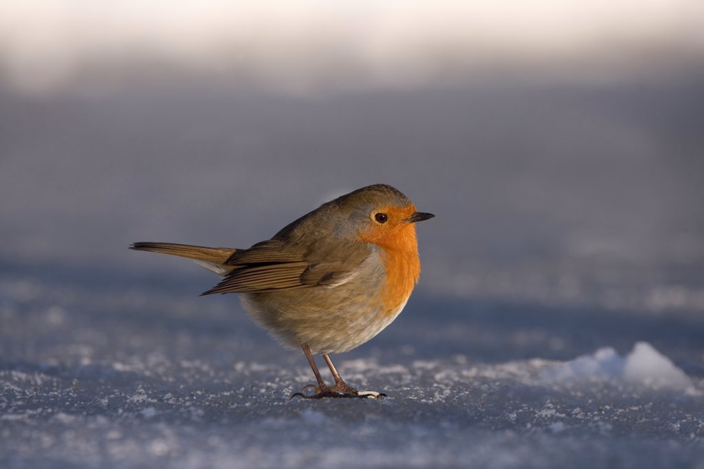 Stock Photo: 4421-10692 European Robin (Erithacus rubecula) adult, standing on ice of frozen garden pond, Bentley, Suffolk, England, december