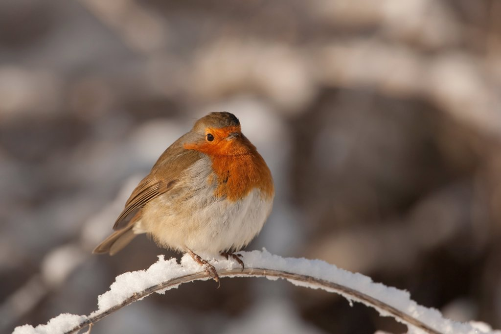 European Robin (Erithacus rubecula) adult, feathers fluffed up, perched on snow covered stem, England, winter : Stock Photo
