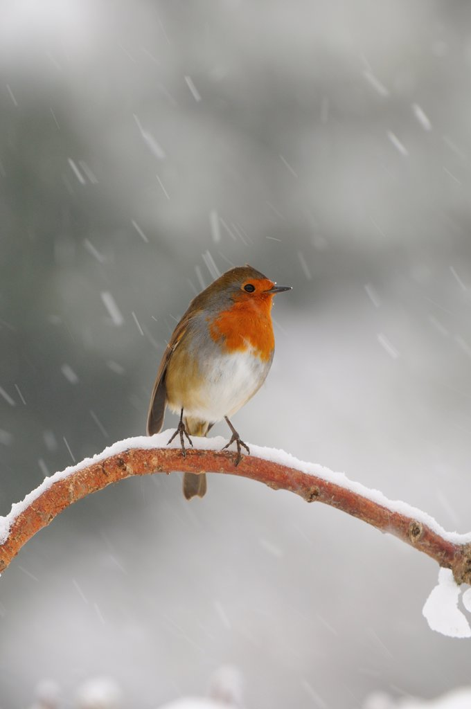 Stock Photo: 4421-10710 European Robin (Erithacus rubecula) adult, perched on snow covered branch in snowfall, Oxfordshire, England, winter