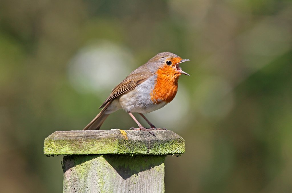 European Robin (Erithacus rubecula) adult, singing, perched on fencepost, West Sussex, England, april : Stock Photo