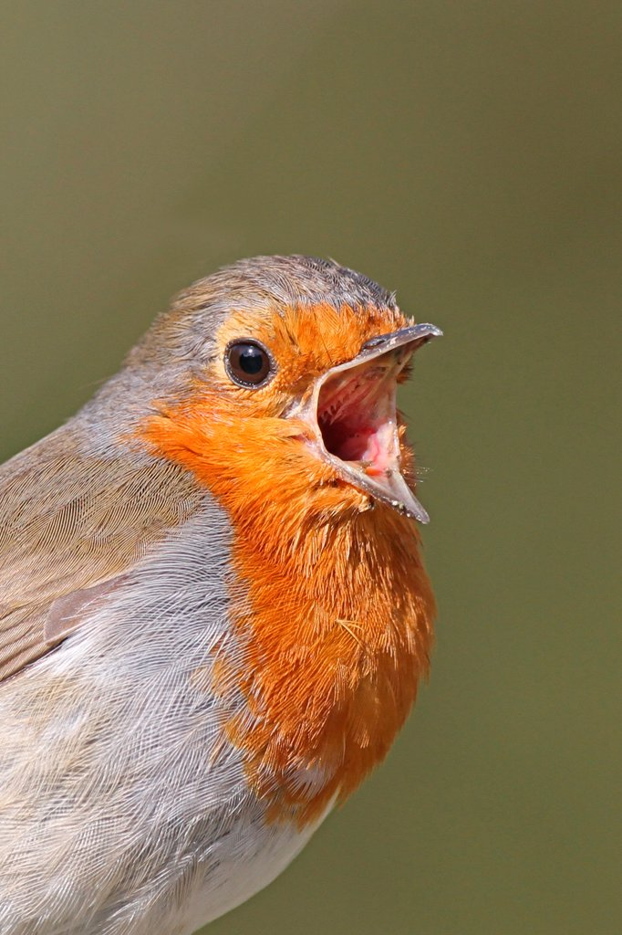 European Robin (Erithacus rubecula) adult, singing, close-up of head, West Sussex, England, april : Stock Photo