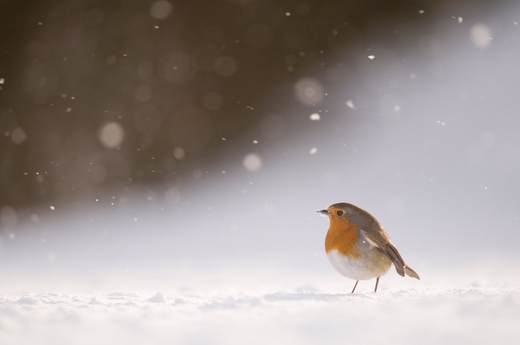 European Robin(Erithacus rubecula) adult, standing on snow covered ground in windblown snow, Derbyshire, England, january : Stock Photo