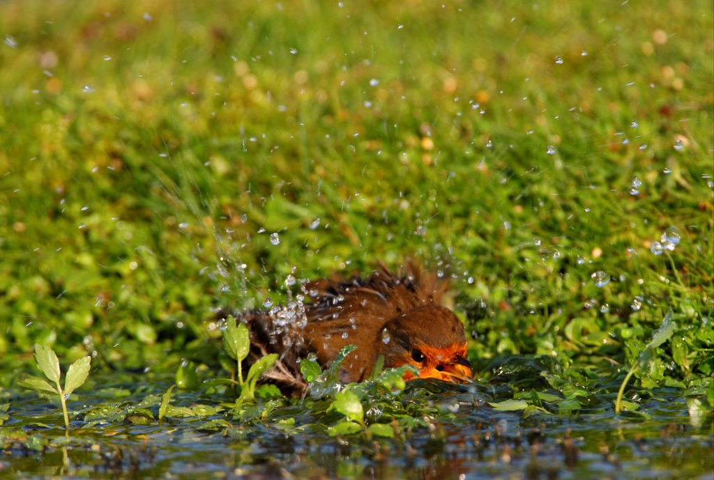 European Robin (Erithacus rubecula) adult, bathing in pool, Norfolk, England, september : Stock Photo