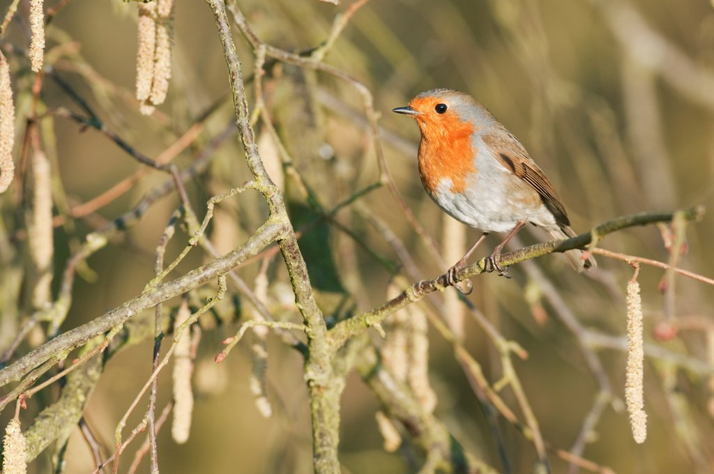 European Robin (Erithacus rubecula) adult, perched on Common Hazel (Corylus avellana) twig with catkins, North Downs, Kent, England, march : Stock Photo