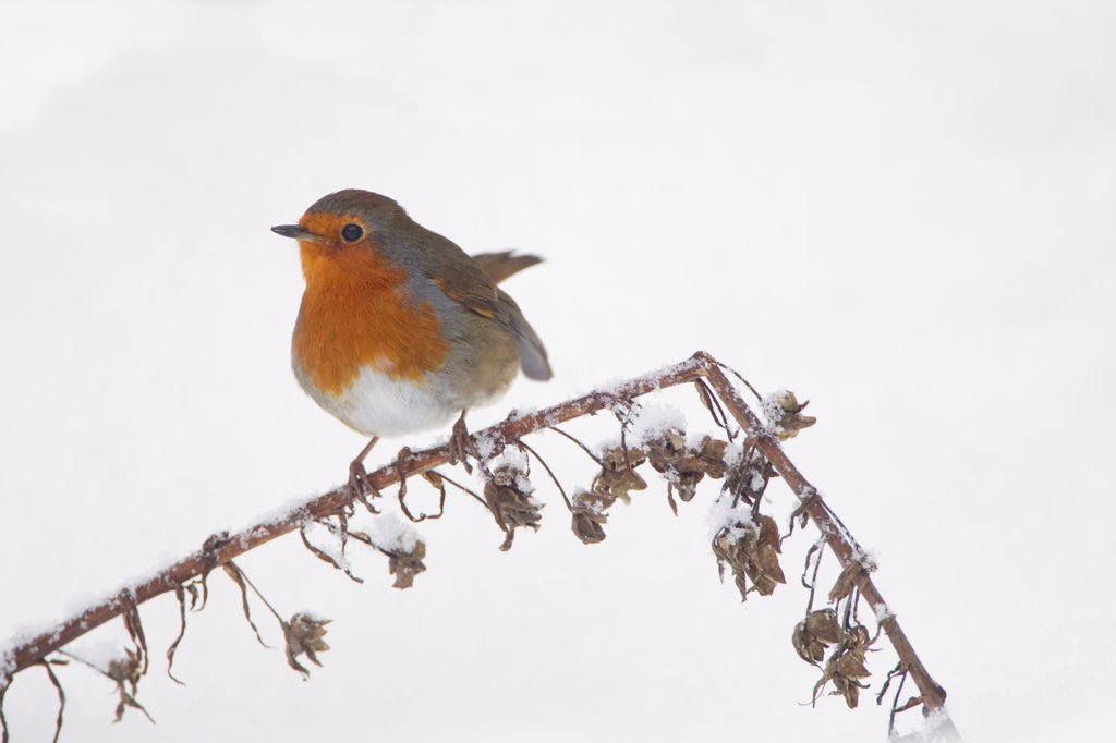 Stock Photo: 4421-10740 European Robin (Erithacus rubecula) adult, perched on foxglove seedhead stem in snow covered garden, Chirnside, Berwickshire, Scotland, december