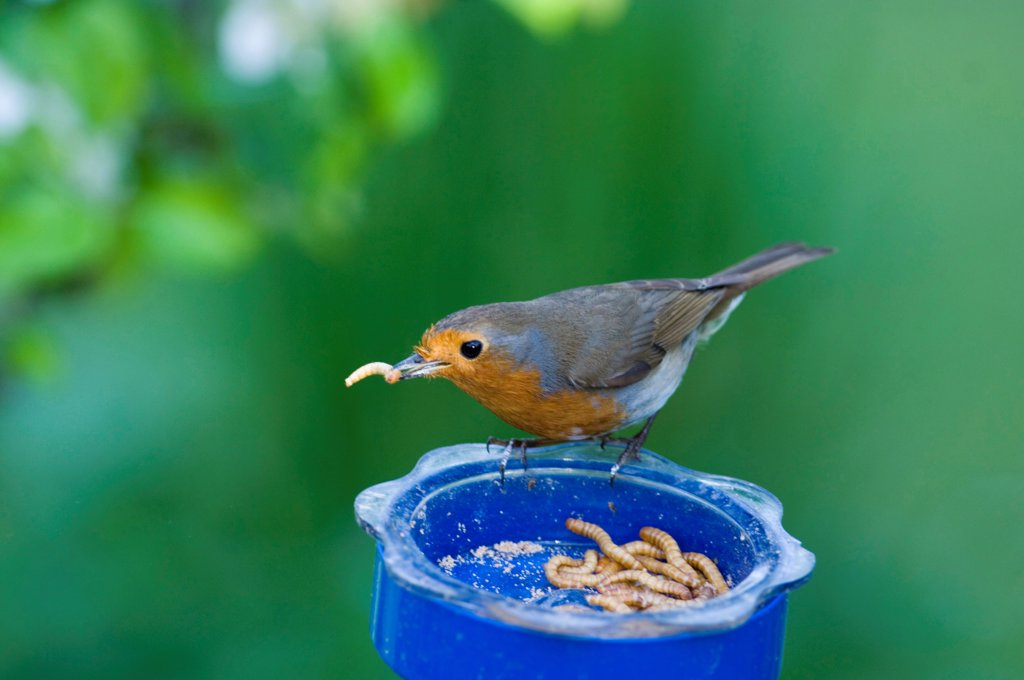 Stock Photo: 4421-10746 European Robin (Erithacus rubecula) adult, feeding on mealworms at mealworm feeder in garden, England, spring