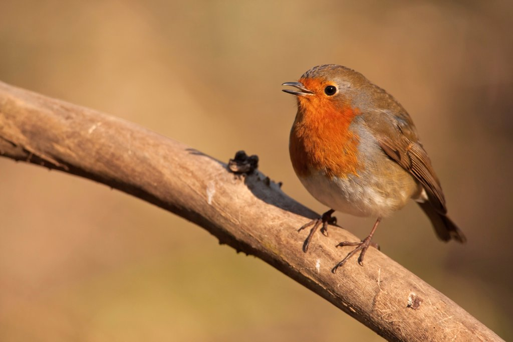 European Robin (Erithacus rubecula) adult, singing, perched on branch, Norfolk, England, february : Stock Photo