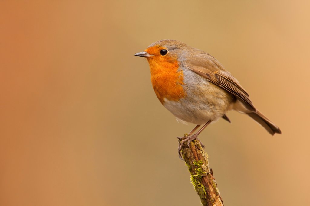 Stock Photo: 4421-10768 European Robin (Erithacus rubecula) adult, perched on stick, Norfolk, England, february