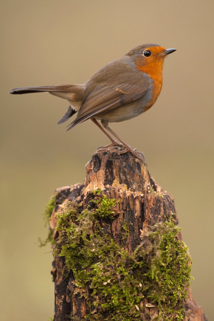 Stock Photo: 4421-10774 European Robin (Erithacus rubecula) adult, perched on moss covered stump, Norfolk, England, december