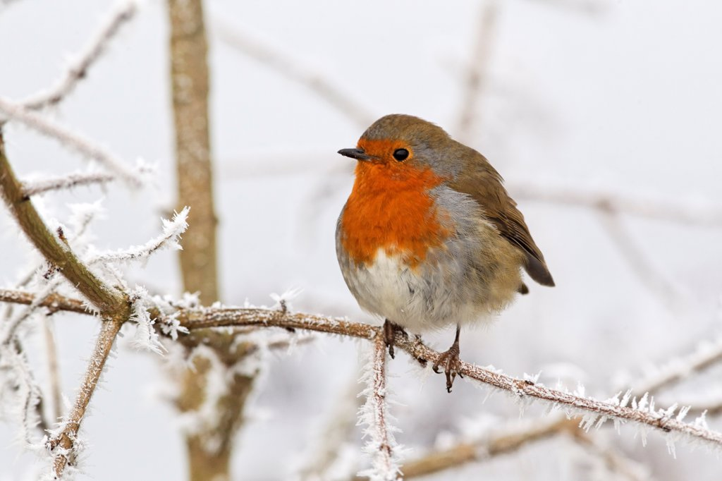 European Robin (Erithacus rubecula) adult, perched on frost covered twig, West Midlands, England, december : Stock Photo