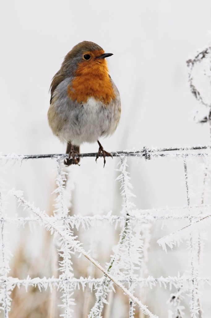 European Robin (Erithacus rubecula) adult, perched on frost covered wire fence, West Midlands, England, december : Stock Photo