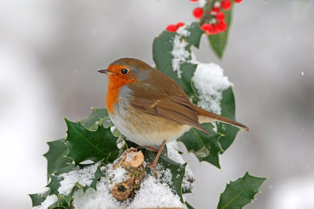 European Robin (Erithacus rubecula) adult, perched on snow covered European Holly (Ilex aquifolium) with berries, Washington, West Sussex, England, december : Stock Photo