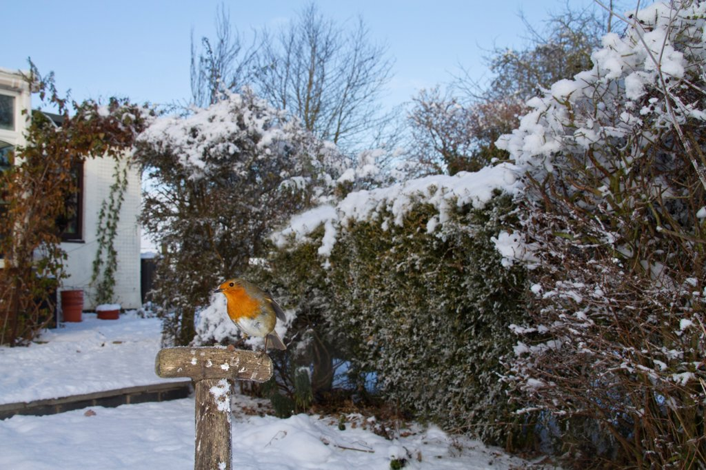 European Robin (Erithacus rubecula) adult, perched on tool handle in snow covered garden habitat, Shropshire, England, november : Stock Photo