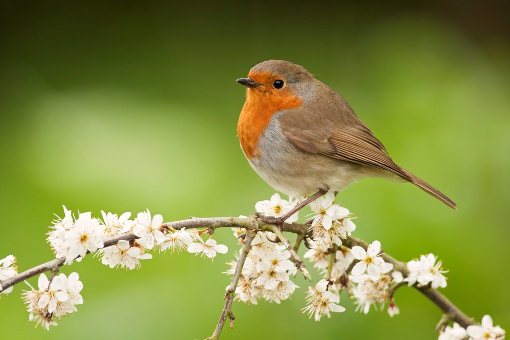Stock Photo: 4421-10819 European Robin (Erithacus rubecula) adult, perched on twig with blossom, Norfolk, England, april