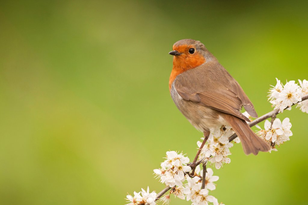 European Robin (Erithacus rubecula) adult, perched on twig with blossom, Norfolk, England, april : Stock Photo
