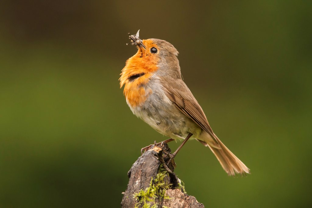 Stock Photo: 4421-10834 European Robin (Erithacus rubecula) adult, posturing with insects in beak, perched on stump, Norfolk, England, may