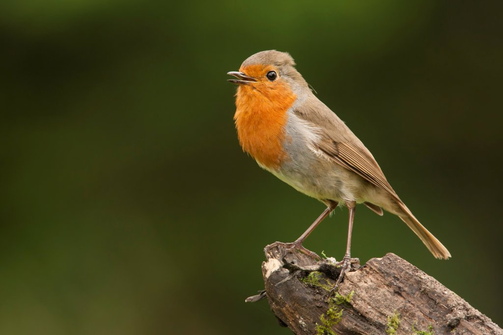 European Robin (Erithacus rubecula) adult, singing, perched on stump, Norfolk, England, may : Stock Photo