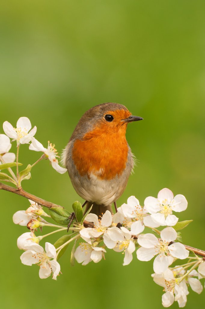 Stock Photo: 4421-10837 European Robin (Erithacus rubecula) adult, perched on twig with blossom, Norfolk, England, may