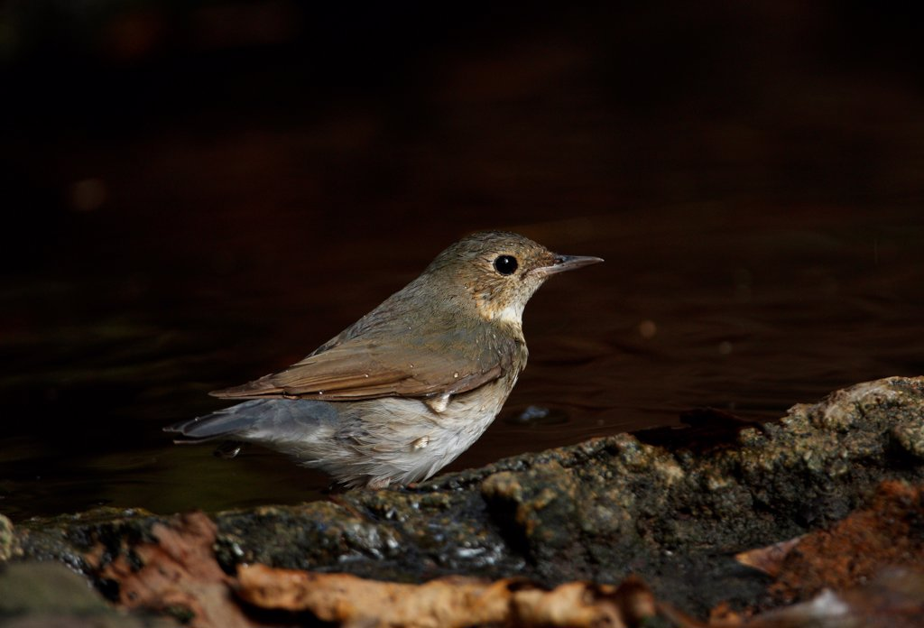 Siberian Blue Robin (Luscinia cyane) adult female, bathing in forest pool, Kaeng Krachan N.P., Thailand, february : Stock Photo