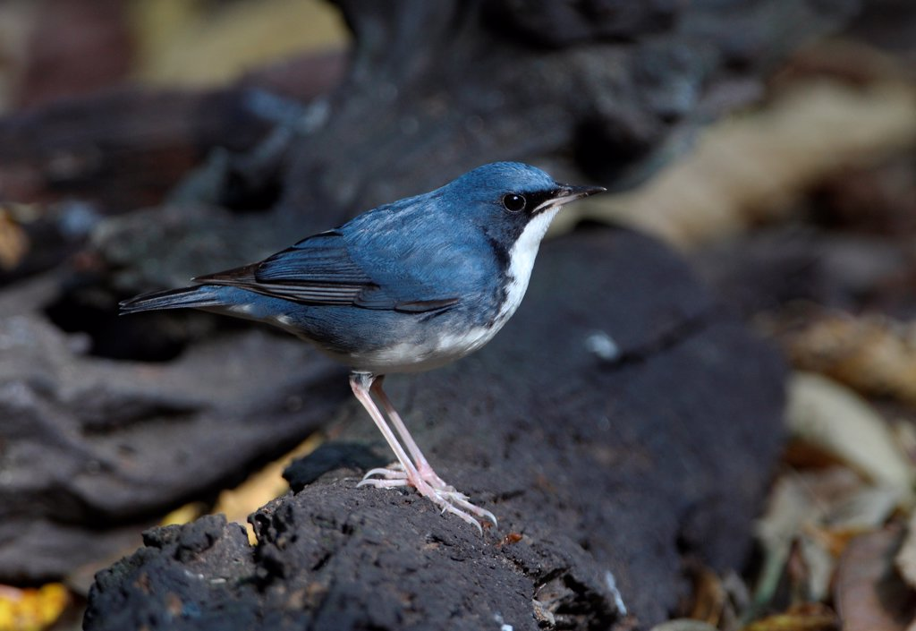 Stock Photo: 4421-10859 Siberian Blue Robin (Luscinia cyane) adult male, standing on log, Kaeng Krachan N.P., Thailand, february