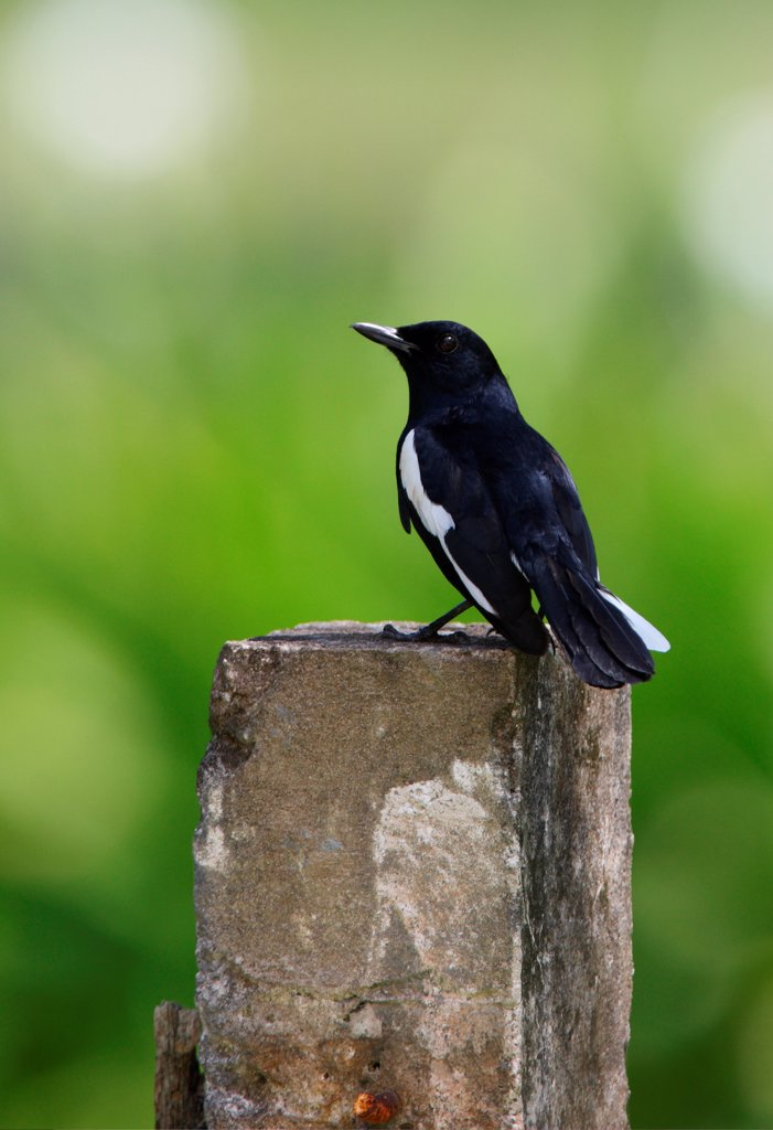 Stock Photo: 4421-10868 Oriental Magpie-robin (Copsychus saularis adamsi) endemic subspecies, adult male, perched on concrete post, Sabah, Borneo, Malaysia, january