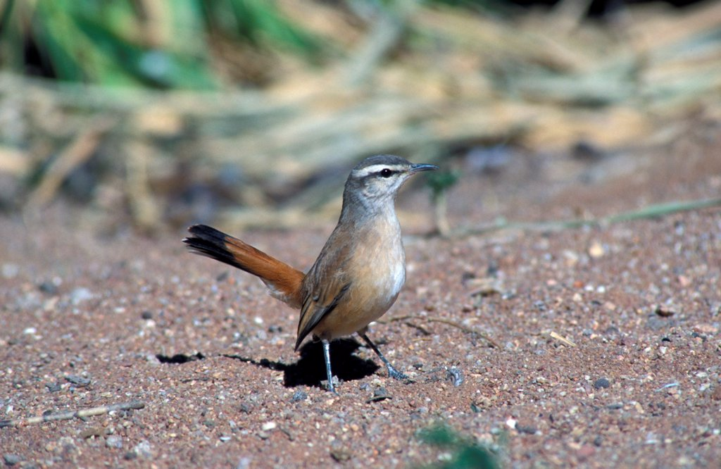 Stock Photo: 4421-10888 Kalahari Robin (Erythropygia paena) Namibia
