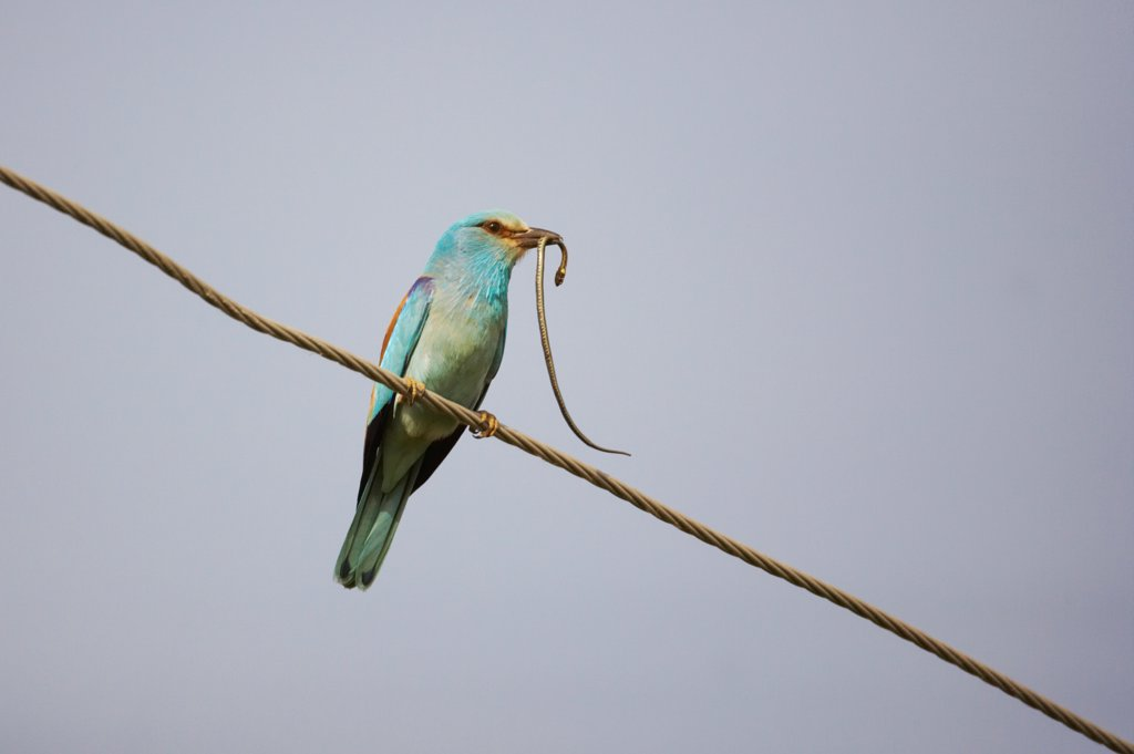 Stock Photo: 4421-10911 European Roller (Coracias garrulus) adult, with Grass Snake (Natrix natrix) prey in beak, perched on overhead wire, Hungary