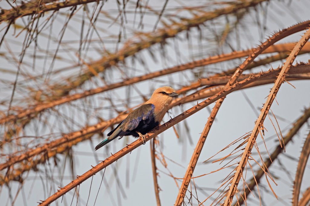 Stock Photo: 4421-10928 Blue-bellied Roller (Coracias cyanogaster) adult, perched on palm frond, Gambia, january