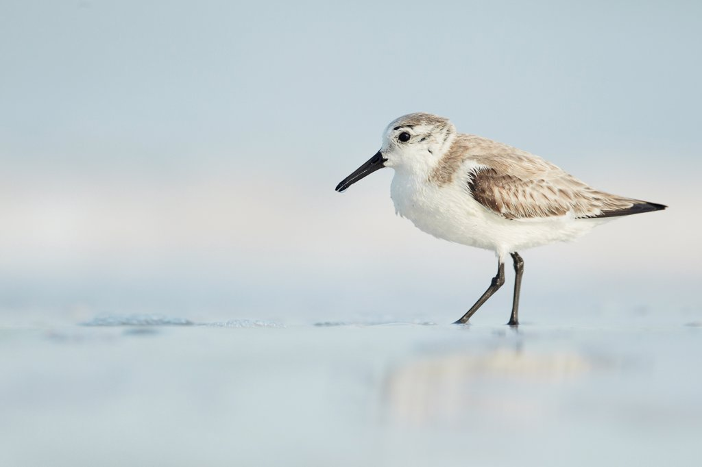 Stock Photo: 4421-11076 Sanderling (Calidris alba) adult, winter plumage, feeding on beach shoreline, Florida, U.S.A., february