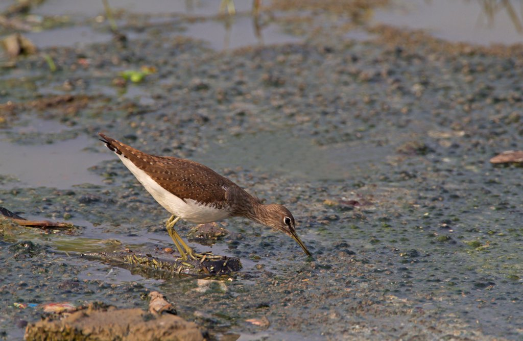 Stock Photo: 4421-11114 Green Sandpiper (Tringa ochropus) adult, feeding in water, India
