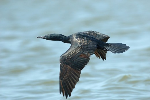Stock Photo: 4421-11214 Indian Cormorant (Phalacrocorax fuscicollis) adult, in flight over water, Bank Pakong River, Bangkok, Thailand, november