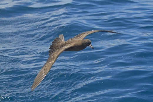 Stock Photo: 4421-11258 Flesh-footed Shearwater (Puffinus carneipes) adult, in flight over sea, New Zealand, november