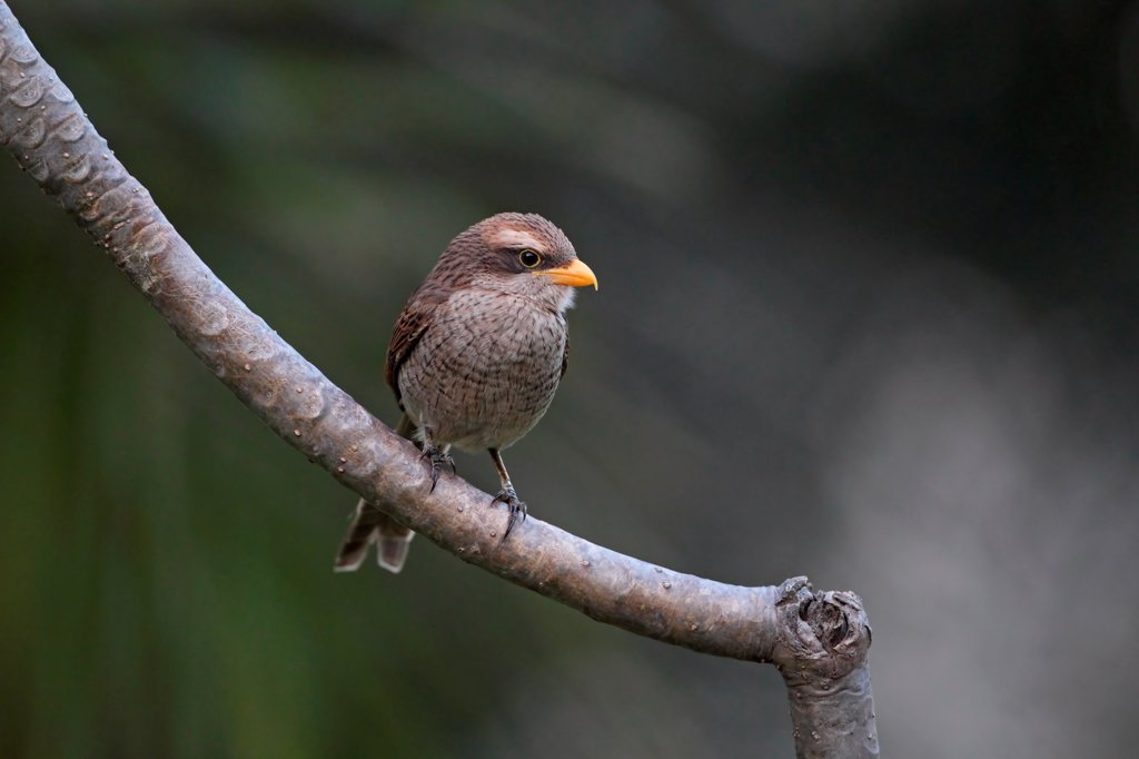 Yellow-billed Shrike (Corvinella corvina) adult, perched on branch, Gambia, february : Stock Photo