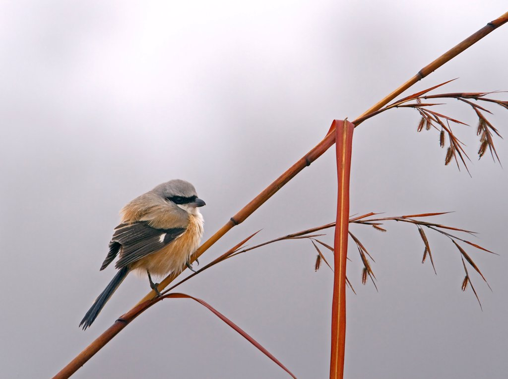 Long-tailed Shrike (Lanius schach) adult, perched on stem, Uttaranchal, India, january : Stock Photo