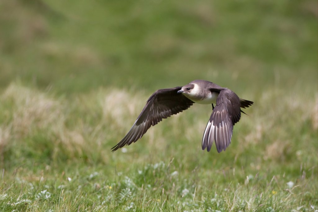 Arctic Skua (Stercorarius parasiticus) pale phase, adult, in low flight, Shetland Islands, Scotland, june : Stock Photo