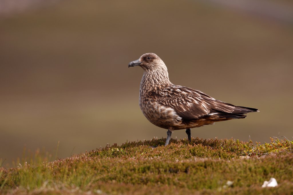 Great Skua (Stercorarius skua) adult, standing on coastal moorland, Scotland, summer : Stock Photo